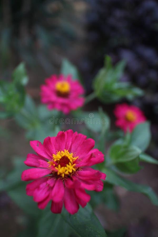 Number three of zinnia flower stock photo