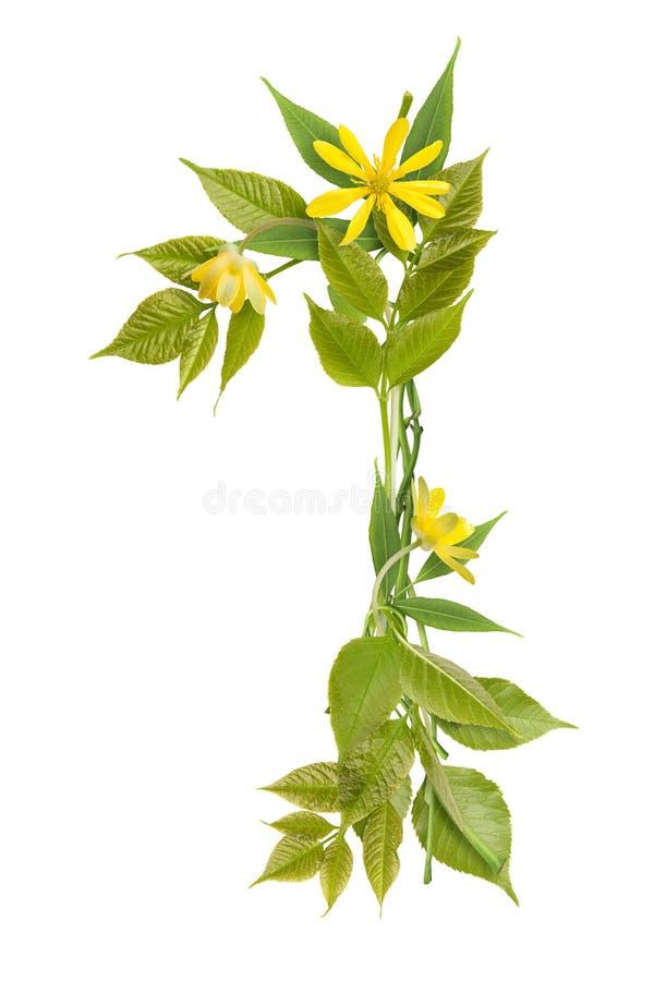 Numere uno de ramificaciones con las hojas y las flores fotos de archivo libres de regalías