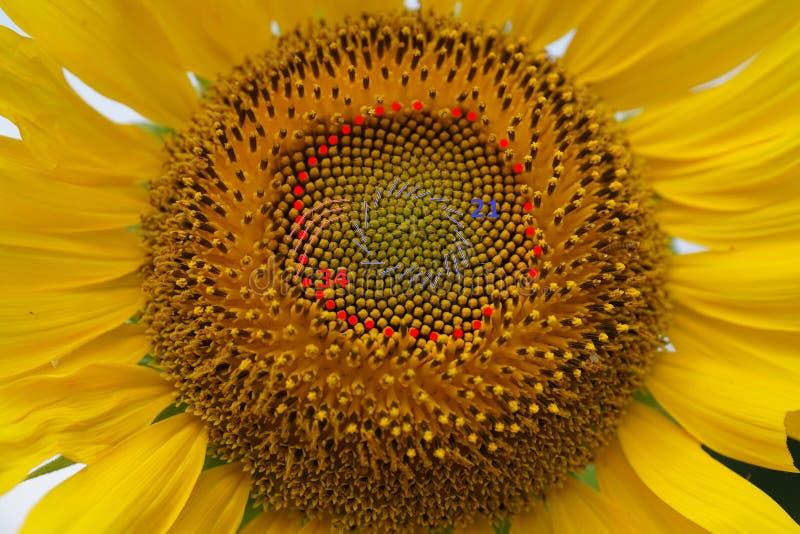 Numeri di Fibonacci delle spirali del seme di girasole fotografie stock