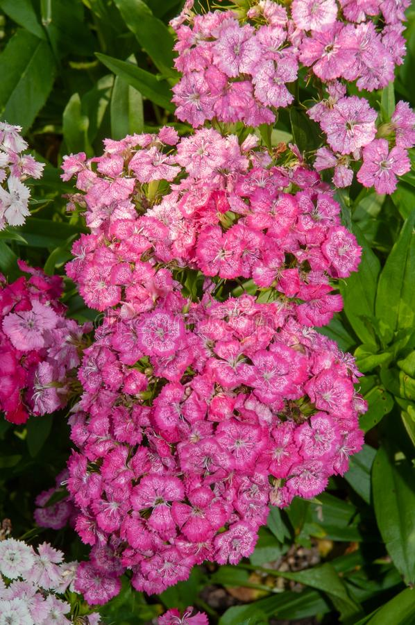 Inflorescences of small pink flowers adorn the flower bed. royalty free stock photos