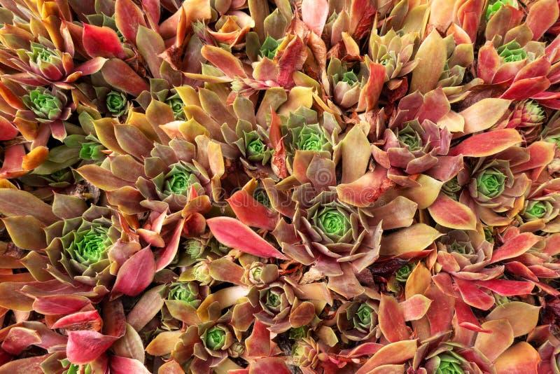 Reddish rock garden plants of the houseleek Sempervivum stock photos
