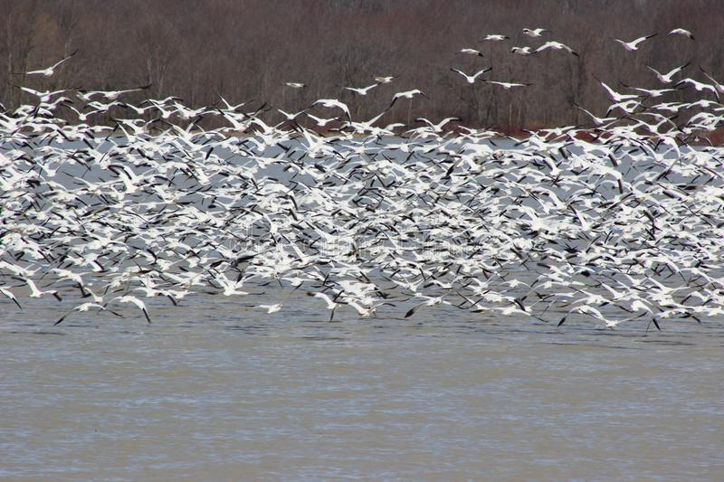 Snow Goose Stock Photo Image Of White Flying Water