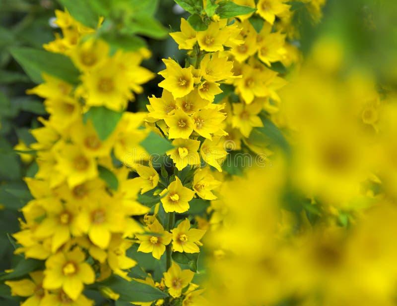 Nummularia Aurea Lysimachia стоковые фотографии rf
