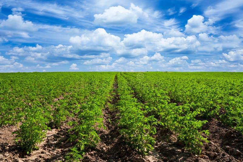 numret för bakgrundsfältblomning planterar vita potatispotatisar arkivfoton