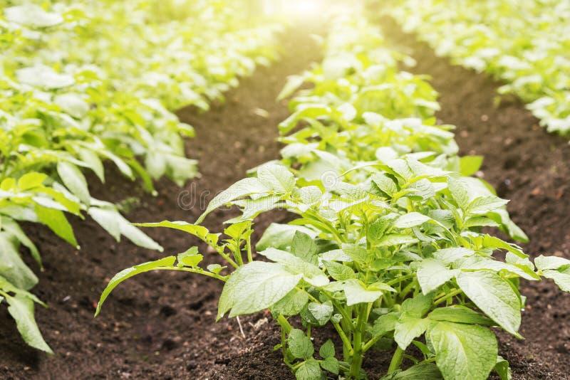 numret för bakgrundsfältblomning planterar vita potatispotatisar Barngräsplangroddar av potatisar i solig dag fotografering för bildbyråer