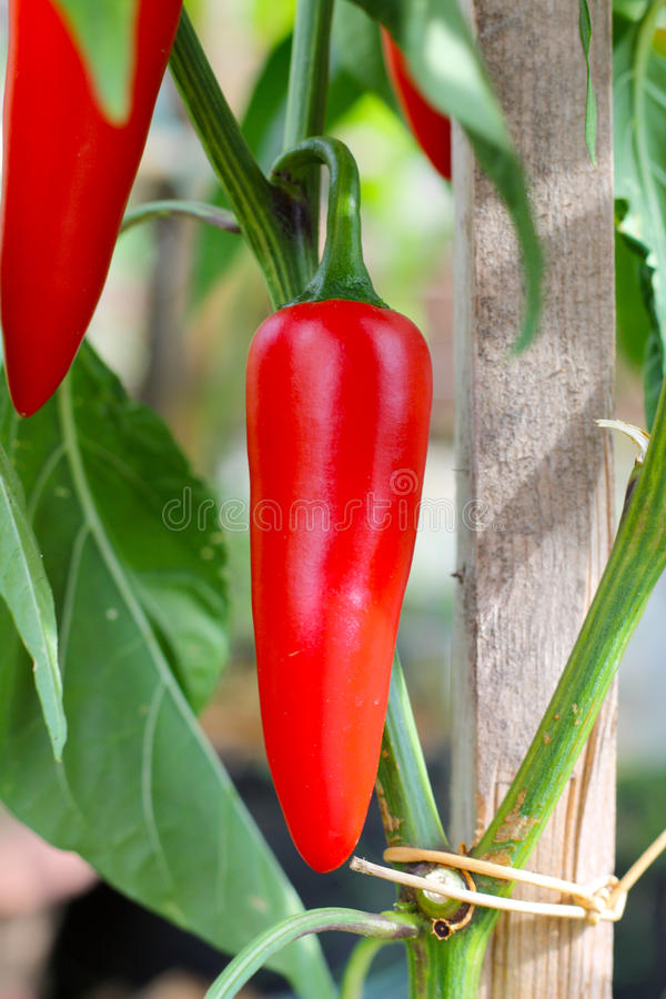 Nunex Big Jim chili pepper royalty free stock photography