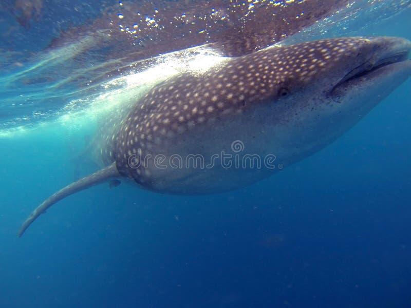 Nuotando con gli squali balena immagini stock