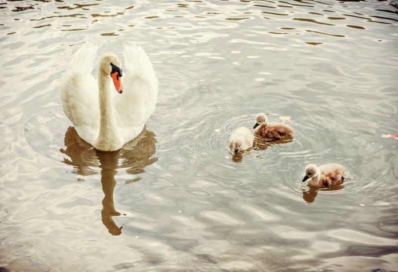 Nuotata bianca con i suoi giovani, filtro giallo del cigno della madre immagini stock libere da diritti