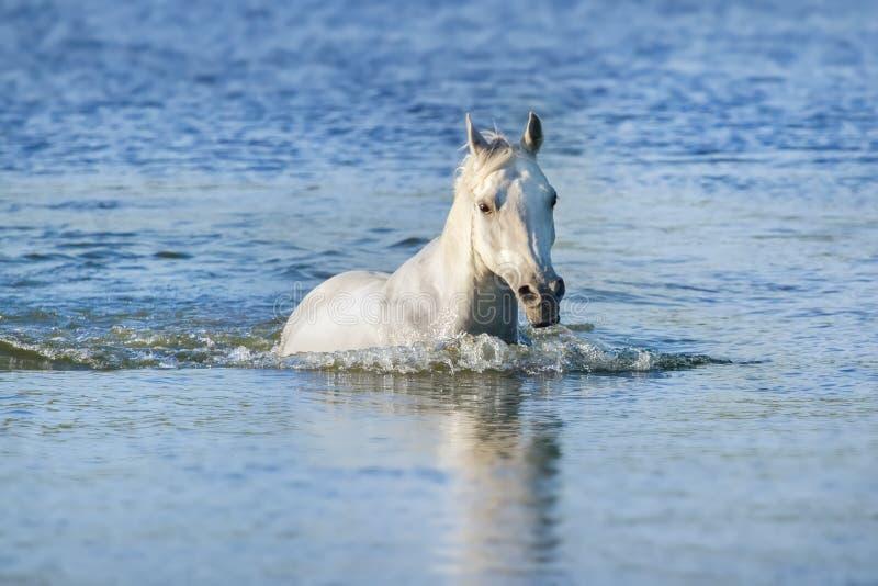 Nuotata del cavallo bianco fotografie stock libere da diritti