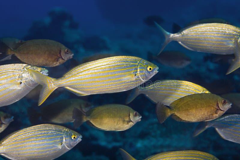 Nuotata del pesce in Maldive immagini stock
