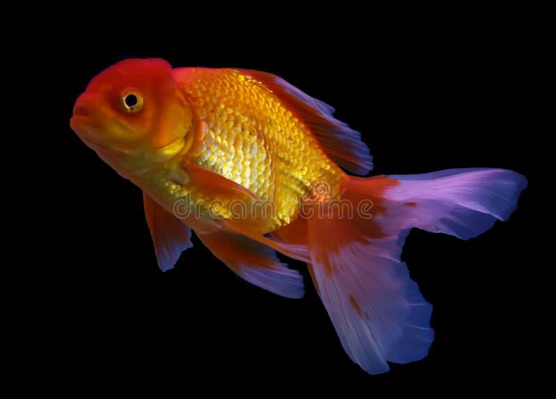 Nuotata del pesce rosso su fondo nero immagini stock