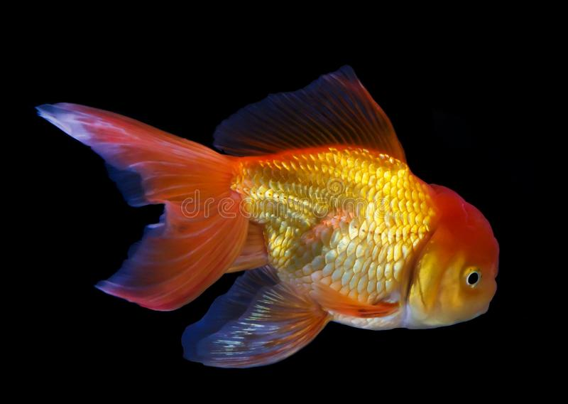 Nuotata del pesce rosso su fondo nero fotografie stock