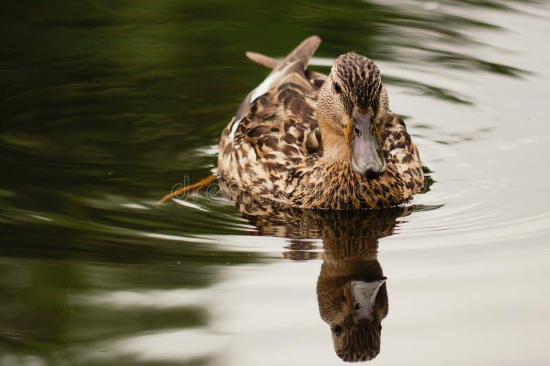 Nuotata dell'anatra di Brown in stagno Ancora azione del galleggiante Acqua con ombra scura e la riflessione fotografia stock libera da diritti