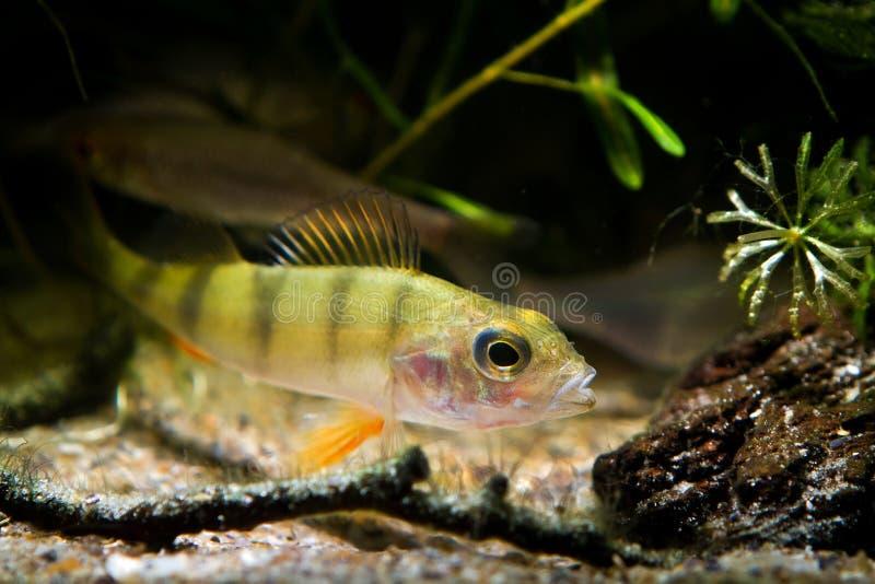 Nuotata della perca in acquario del biotopo del fiume del coldwater della natura, pesce predatore pericoloso, perca fluviatilis immagini stock