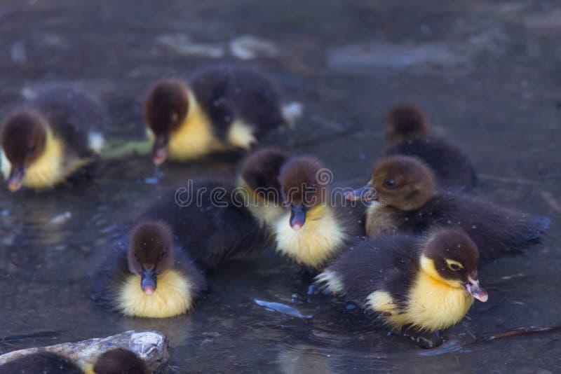 Nuotata di Duck Puppies nell'acqua immagine stock libera da diritti