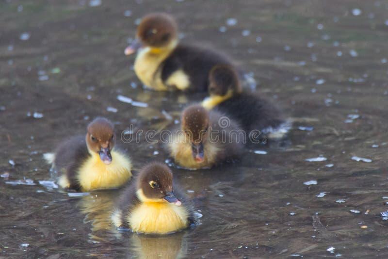 Nuotata di Duck Puppies nell'acqua fotografia stock