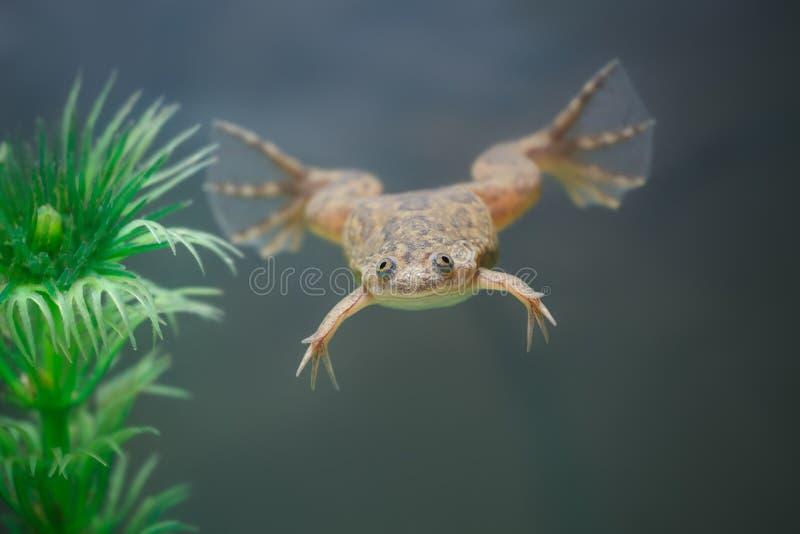 Nuotata gialla esotica della rana in un acquario fotografie stock libere da diritti