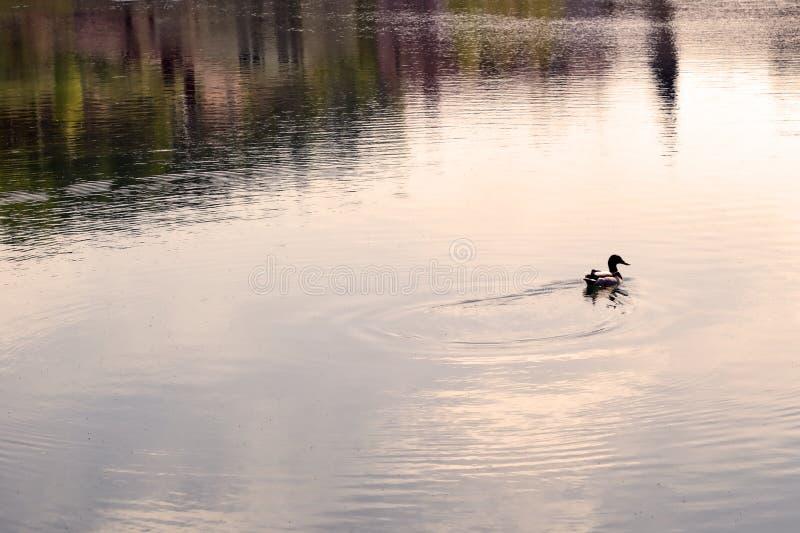 Nuotata sola dell'anatra nello stagno al tramonto paesaggio selvaggio della natura di sera di estate immagini stock libere da diritti