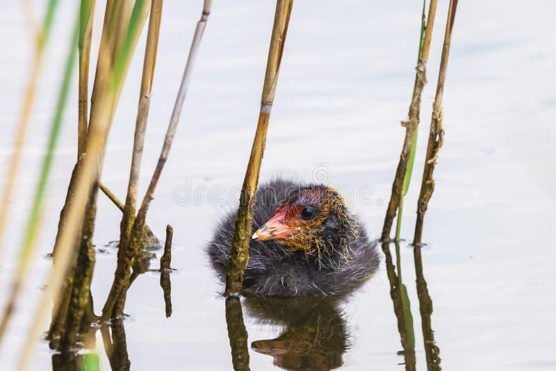 Nuotate euroasiatiche lanuginose nere del pollo della folaga fra le canne fotografia stock