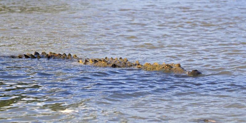 Nuoto americano del coccodrillo immagine stock