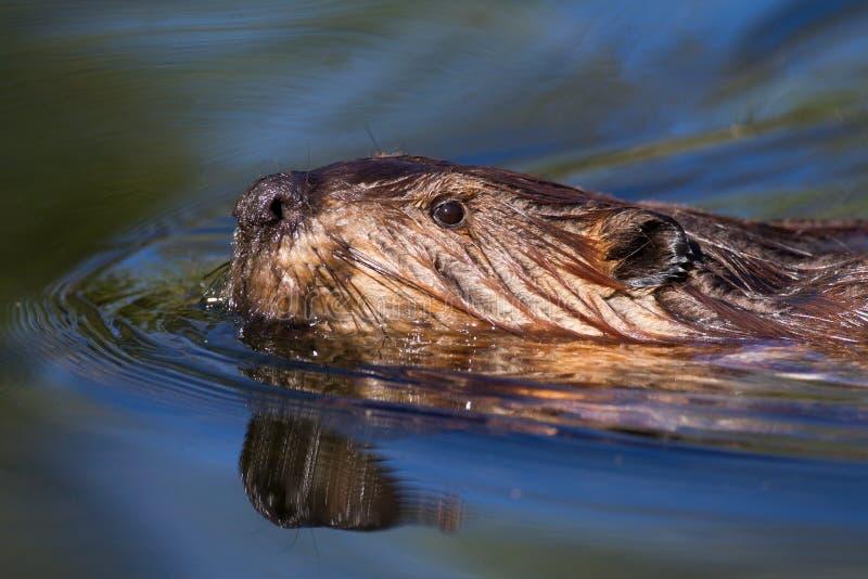 Nuoto americano di canadensis della macchina per colata continua del castoro fotografia stock libera da diritti