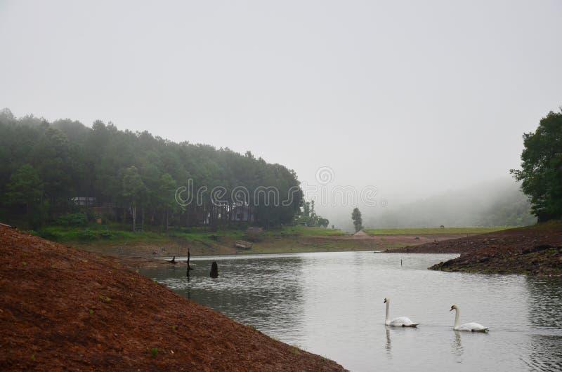 Nuoto bianco del cigno nel lago del bacino idrico in Pang Ung immagini stock libere da diritti
