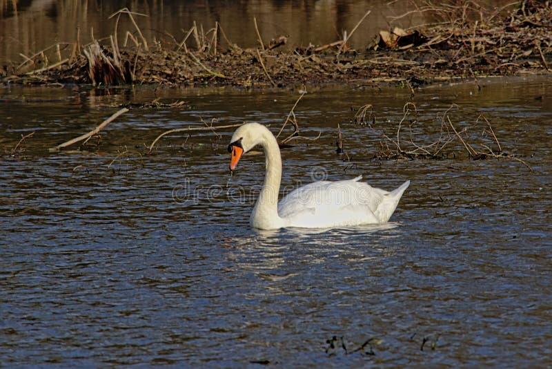 Nuoto bianco del cigno nel lago immagini stock