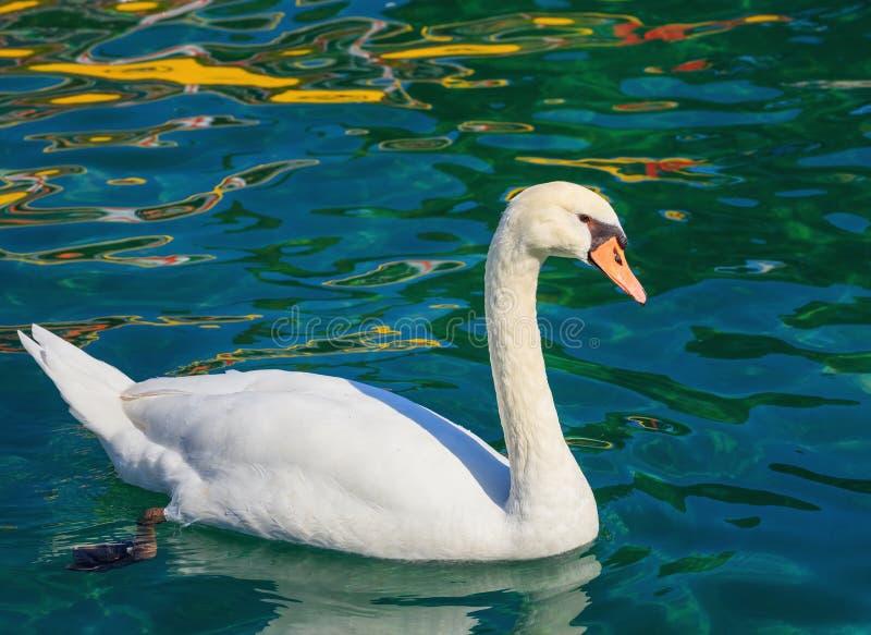 Nuoto bianco del cigno sul lago Lemano immagine stock