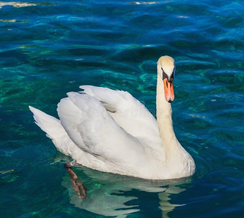 Nuoto bianco del cigno sul lago Lemano fotografia stock