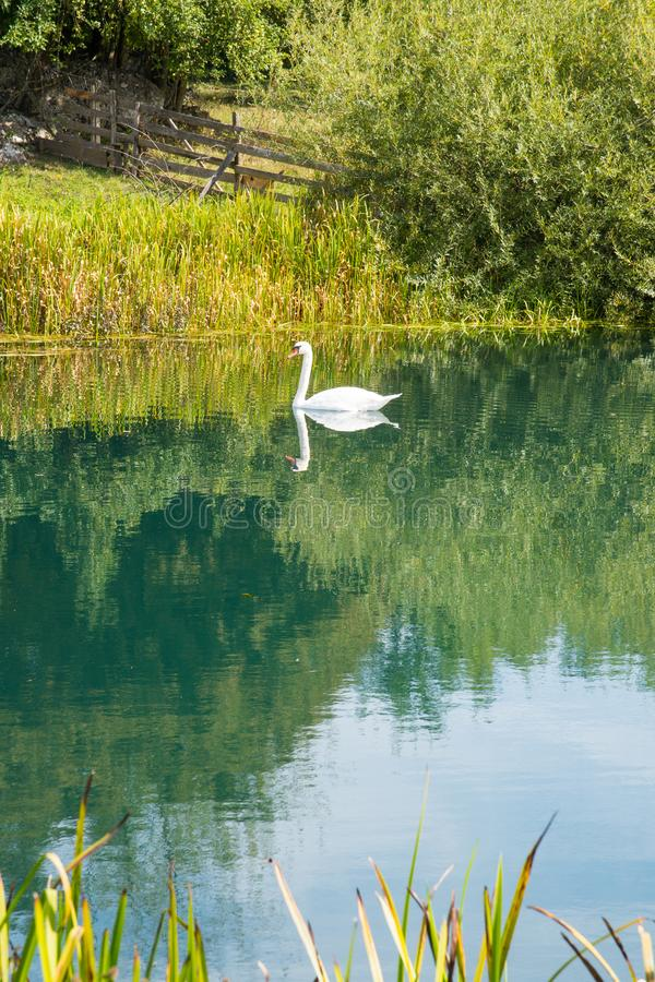 Nuoto bianco del cigno sull'acqua del turchese del fiume in Croazia centrale immagini stock libere da diritti
