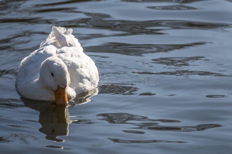 Nuoto bianco dell'anatra nel lago immagine stock
