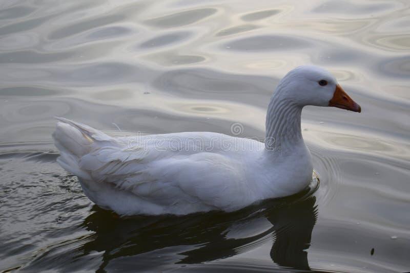 Nuoto bianco di ganzo nel lago di Palermo un giorno nel pomeriggio fotografia stock libera da diritti