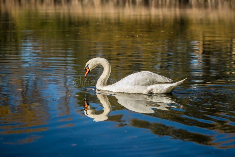 Nuoto bianco grazioso del cigno muto in un lago blu immagine stock libera da diritti