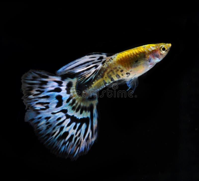 Nuoto dei pesci dell'animale domestico del Guppy isolato fotografia stock libera da diritti
