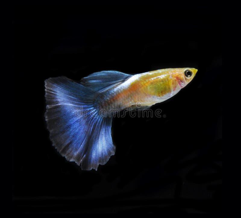 Nuoto dei pesci dell'animale domestico del Guppy isolato immagine stock libera da diritti