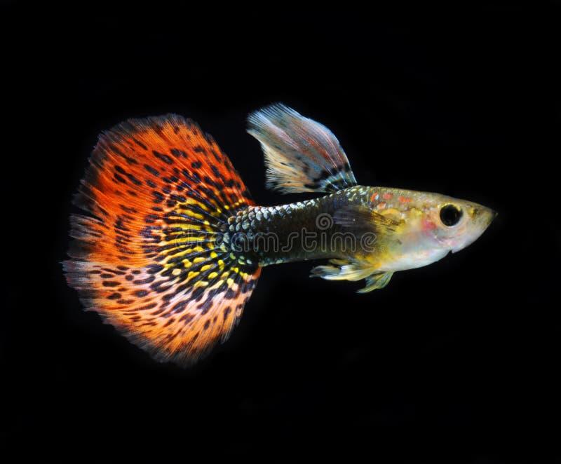 Nuoto dei pesci dell'animale domestico del Guppy isolato immagine stock