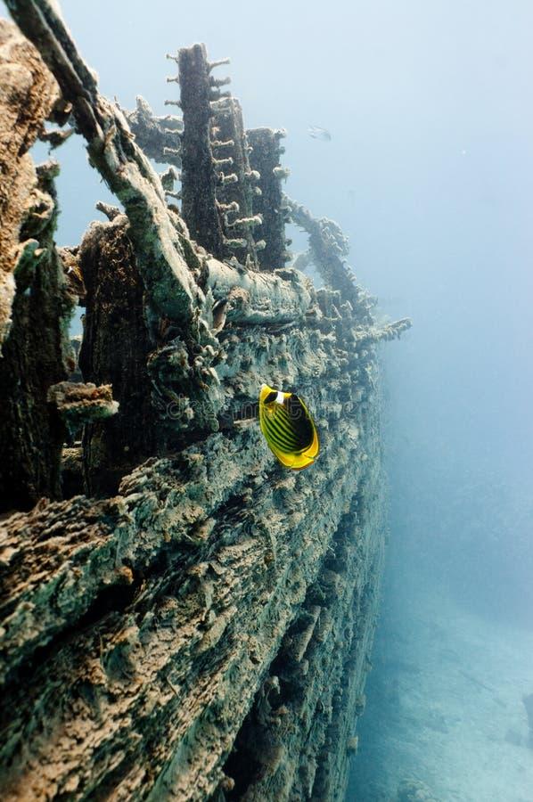 Nuoto dei pesci di farfalla del tabacco su un naufragio fotografia stock libera da diritti