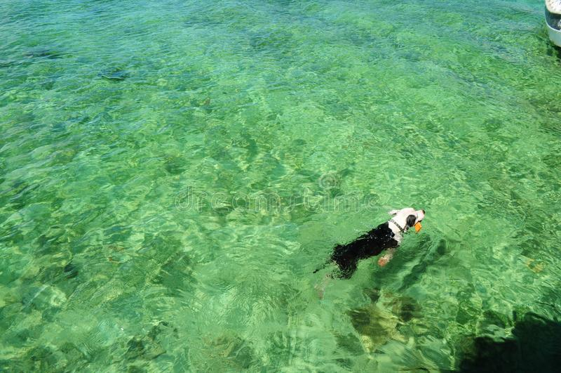 Nuoto del cane nel mare immagine stock libera da diritti