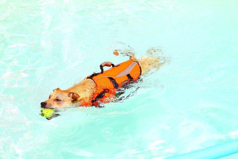 Nuoto del cane nel raggruppamento fotografia stock