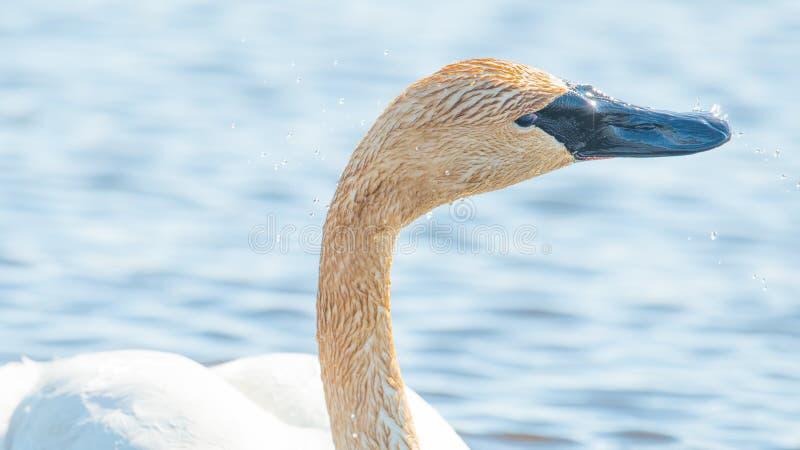 Nuoto del cigno di trombettista singolo - preso durante le migrazioni iniziali della primavera all'area della fauna selvatica dei immagine stock libera da diritti