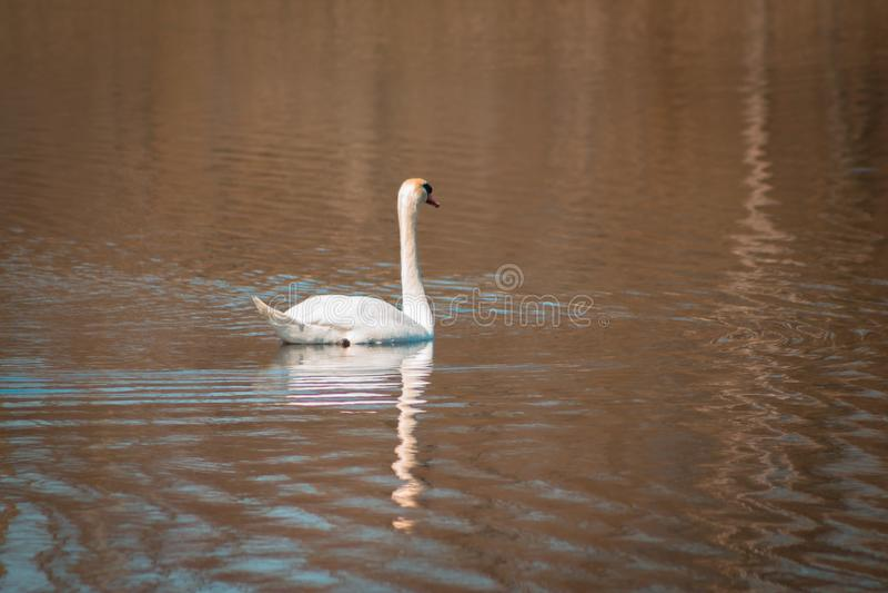 Nuoto del cigno muto su un lago a Grand Rapids Michigan fotografia stock