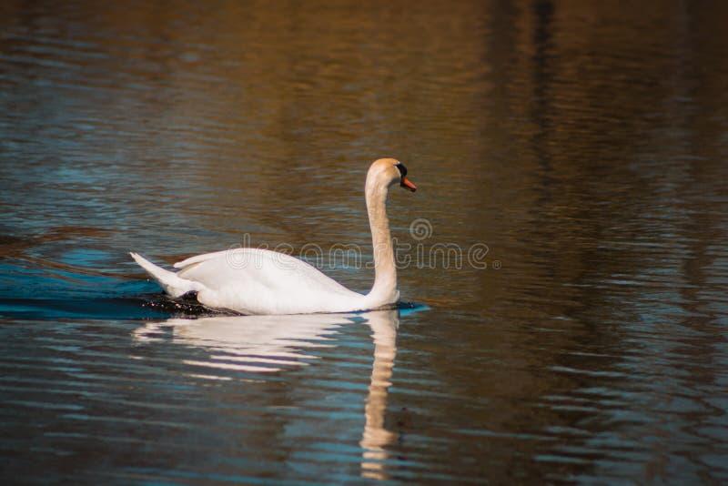Nuoto del cigno muto in un lago a Grand Rapids Michigan immagine stock