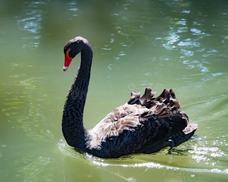 Nuoto del cigno nero sull'acqua in autunno fotografia stock libera da diritti