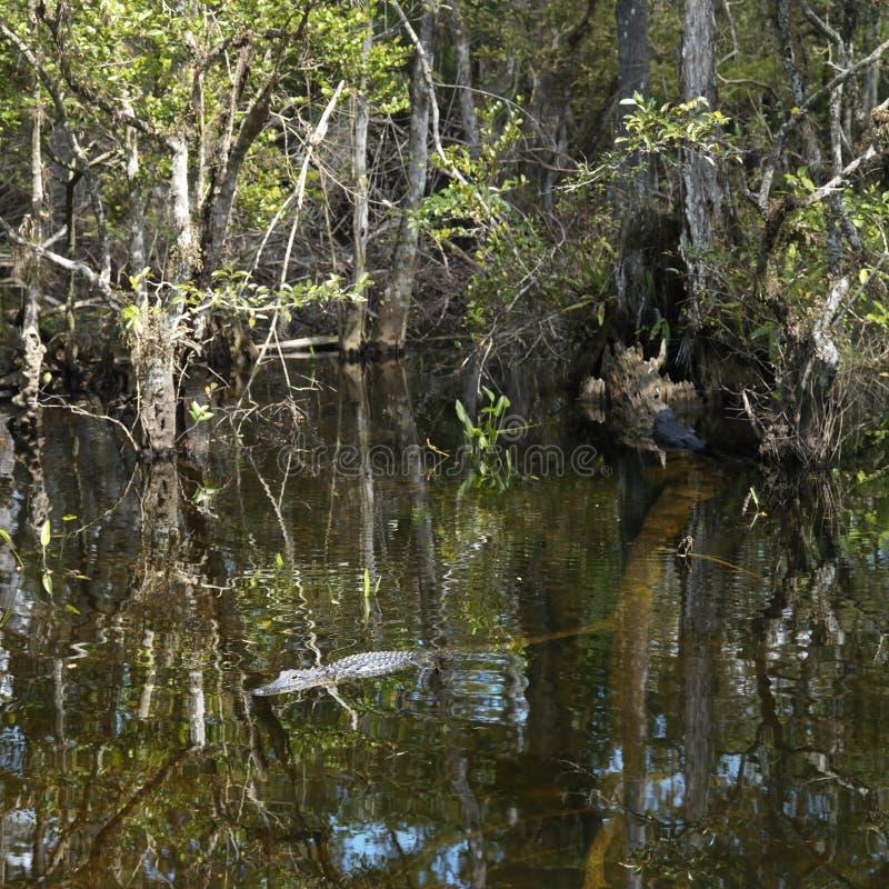 Nuoto del coccodrillo nei terreni paludosi della Florida. immagine stock