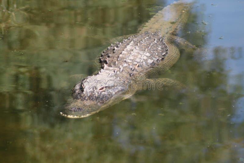 Nuoto del coccodrillo verso lo spettatore immagine stock libera da diritti