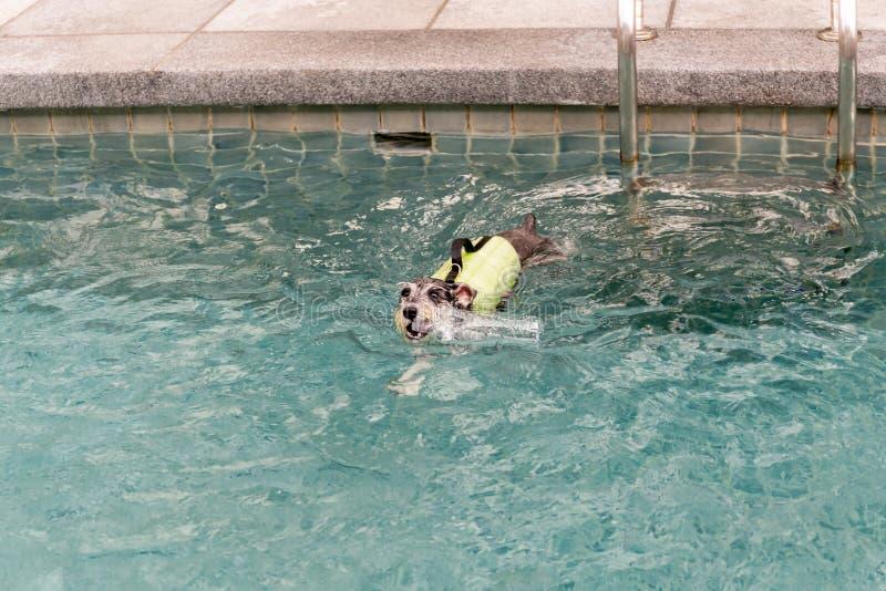 Nuoto del cucciolo di cane dell'Yorkshire terrier di Biewer che gioca con la bottiglia immagine stock