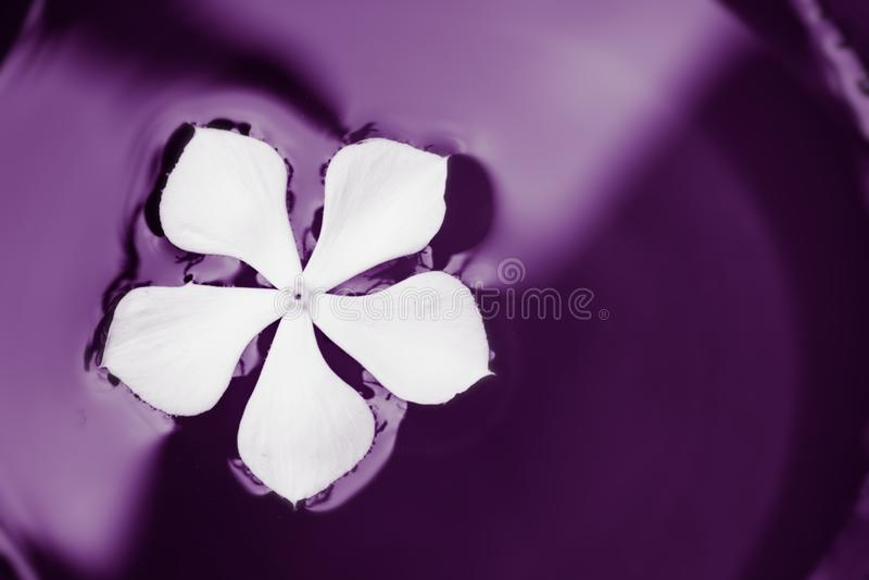 Nuoto del fiore bianco in pittura porpora fotografie stock libere da diritti