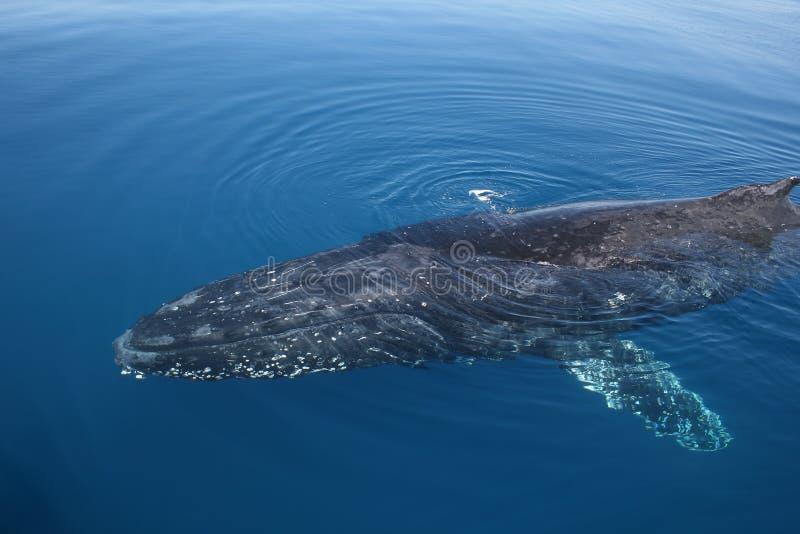 Nuoto del Humpback della balena fotografia stock