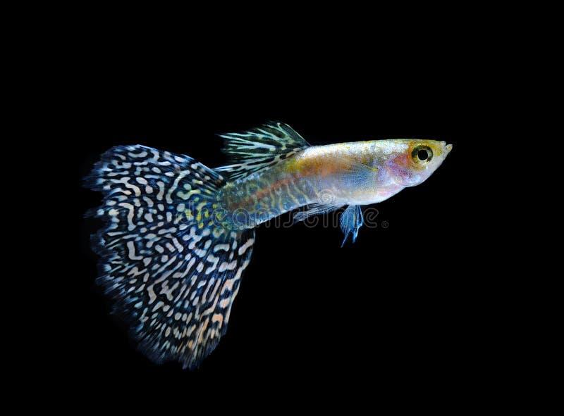 Nuoto del pesce del Guppy isolato sul nero immagini stock libere da diritti