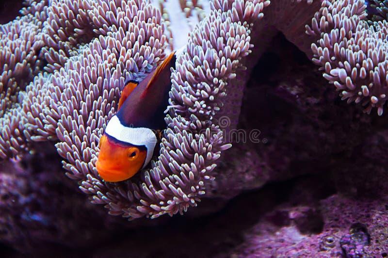 Nuoto del pesce del pagliaccio nell'anemone di mare immagine stock libera da diritti